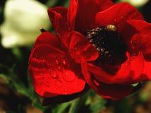 Красный цветок ветреницы с падениями воды Стоковое Фото