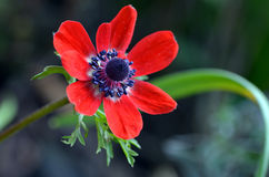Красный цветок ветреницы Стоковое фото RF