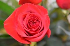 Красный цветок в взгляде макроса стоковые фотографии rf