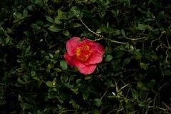 Красный цветок в зеленом кусте стоковое фото