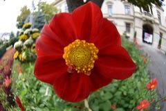 Красный цветок в пасмурном дне Стоковая Фотография