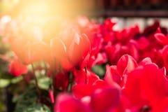 красный цветок в саде с солнечным светом Стоковое Изображение
