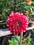 Красный цветок в утре стоковое фото rf