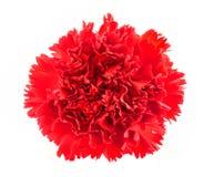 Красный цветок гвоздики Стоковые Изображения