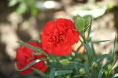 Красный цветок гвоздики Стоковые Фото