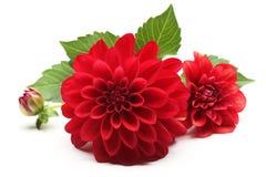Красный цветок георгина Стоковая Фотография
