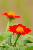 Красный цветок георгинов стоковая фотография