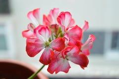 Красный цветок гераниума Стоковые Изображения RF