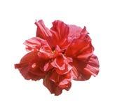 Красный цветок гибискуса изолированный на белизне стоковые изображения rf