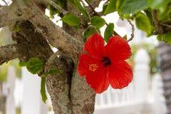 Красный цветок гибискуса на дереве стоковая фотография