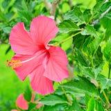 Красный цветок гибискуса на зеленой предпосылке Стоковое Фото