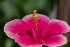 Красный цветок гибискуса с желтым цветнем Стоковые Фото