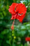 Красный цветок. Гибискус Стоковое Фото
