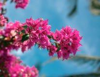 Красный цветок дерева над голубым небом Стоковые Изображения
