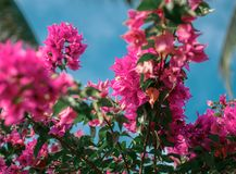 Красный цветок дерева над голубым небом Стоковое Изображение RF