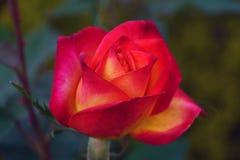 Красный цветок желтых роз Стоковая Фотография RF