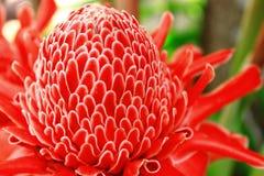 Красный цветок имбиря факела красочен и blossoming Стоковая Фотография RF