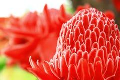 Красный цветок имбиря факела красочен и blossoming Стоковое Фото