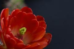 Красный цветок кактуса на черной предпосылке Стоковое Изображение RF