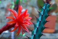 Красный цветок кактуса aurantiaca matucana стоковые фотографии rf