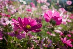 Красный цветок космоса в саде Стоковое Изображение