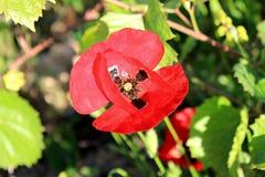 Красный цветок мака весной стоковые изображения