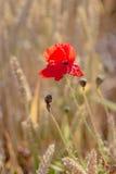 Красный цветок мака в зрелом пшеничном поле Плоский взгляд Стоковая Фотография