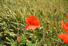 Красный цветок мака в поле зеленой пшеницы Стоковое Изображение