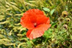 Красный цветок мака в поле зеленой пшеницы Стоковые Фото