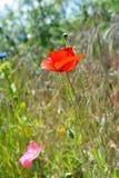 Красный цветок мака в поле Стоковые Изображения RF