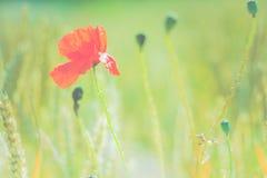 Красный цветок мака в пшеничном поле запачканном зеленым цветом Плоский взгляд Стоковое Фото