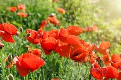 Красный цветок мака в луге Стоковое Изображение