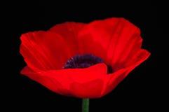 Красный цветок мака на темной расплывчатой предпосылке Стоковые Изображения RF