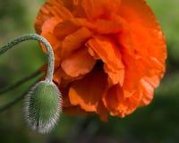 Красный цветок мака с крупным планом бутона Стоковое Изображение