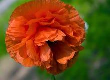 Красный цветок мака с крупным планом бутона Стоковое фото RF