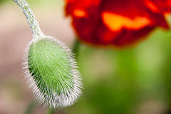Красный цветок мака с крупным планом бутона Стоковые Изображения RF