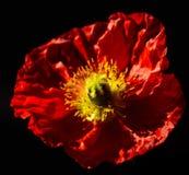 Красный цветок мака Стоковое Изображение