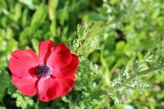 Красный цветок мака Стоковое Фото
