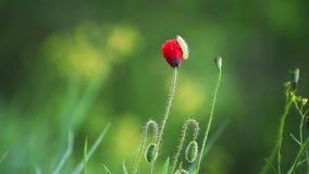 Красный цветок мака сток-видео