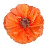 Красный цветок мака Стоковые Фотографии RF