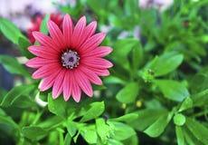 Красный цветок маргаритки с зеленой предпосылкой природы Стоковое Изображение RF