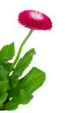 Красный цветок маргаритки стоковые фото