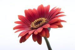 Красный цветок маргаритки Стоковые Изображения RF