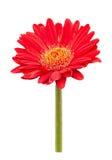 Красный цветок маргаритки gerbera изолированный на белой предпосылке стоковое изображение