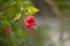 Красный цветок на запачканной зеленой предпосылке Стоковая Фотография RF