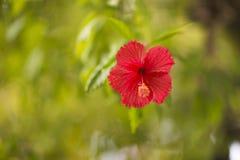 Красный цветок на запачканной зеленой предпосылке Стоковые Изображения
