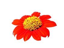 Красный цветок на изолированный Стоковое Изображение