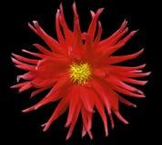 Красный цветок на черной предпосылке изолированной с путем клиппирования closeup Стоковая Фотография RF