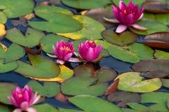 красный цветок лотоса в озере Стоковое Изображение