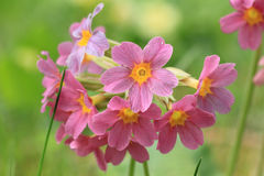 Красный цветок первоцвета в саде Стоковая Фотография
